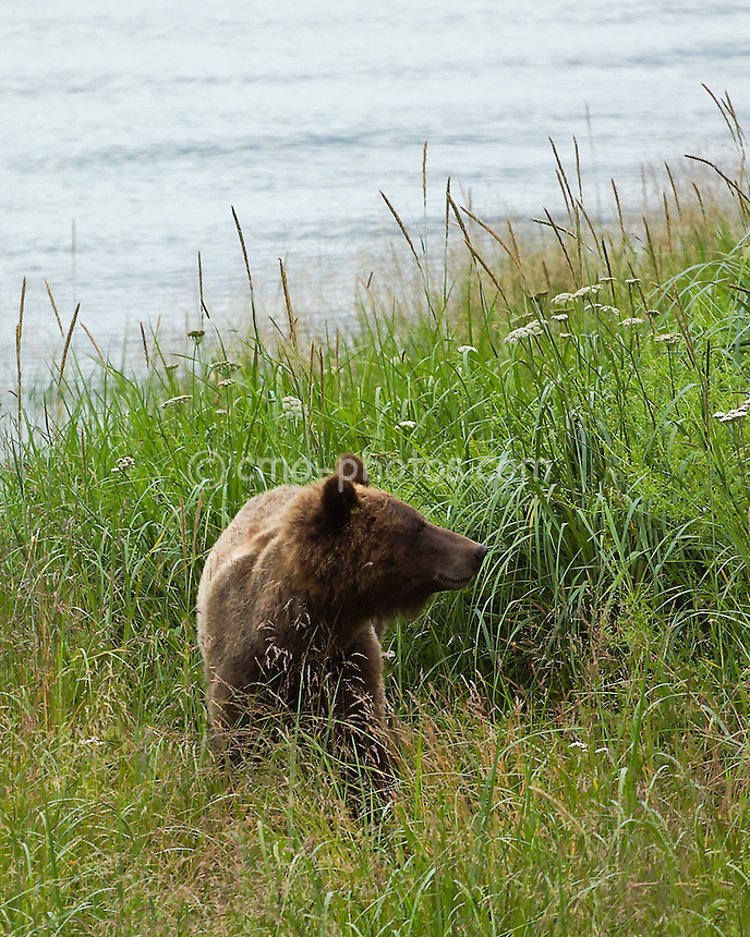 A small coastal brown bear walks through the grass along the Chilkat river in southeast Alaska