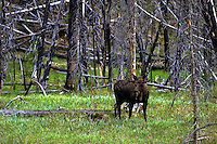 Bull Moose in the backcountry of Yellowstone National Park. Wyoming, Yellowstone National Park.