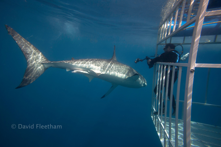 This great white shark, Carcharodon carcharias, has made a close pass at the diver (MR) in the shark cage off Guadalupe Island, Mexico.