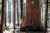 Stock photo: Bark of a giant Sequoia tree stands surrounded by red wood and other tall trees in the Sequoia National Park in California USA.