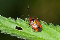 Rote Weichwanze, Dreiecks-Weichwanze, Dreiecksweichwanze, Blindwanze auf Brennnessel-Blatt, Deraeocoris ruber, Weichwanzen, Blindwanzen, Miridae, mirids, capsid bugs, plant bugs, Mirid Bug