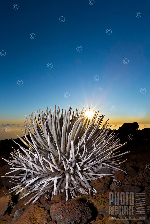 Sunrise at Haleakala, with a silversword plant in the foreground,Maui.