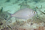 Eucinostomus gula, Silver jenny, Florida Keys