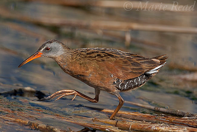 Virginia Rail (Rallus limicola), walking across submerged dead reeds in wetland, Mono Lake Basin, California, USA