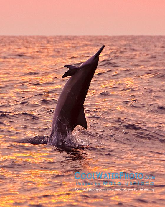 Hawaiian spinner dolphin, Stenella longirostris longirostris, jumping at sunset off Kona Coast, Big Island, Hawaii, Pacific Ocean