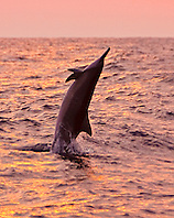 Hawaiian spinner dolphin, Stenella longirostris longirostris, jumping at sunset off Kona Coast, Big Island, Hawaii, Pacific Ocean