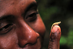 Dwarf Chameleon or Pygmy Leaf Chameleon perched on a person's fingertip (Brookesia minima), Montagne d'Ambre National Park, Antsiranana, Northern Madagascar