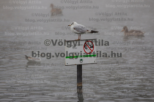 Wild birds on a lake filled with thermal water in the snow covered City Park in Budapest, Hungary on February 17, 2012. ATTILA VOLGYI