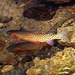 greenback cutthroat trout pair swim in outlet to Fern Lake, Rocky Mountaion National Park, Colorado, USA