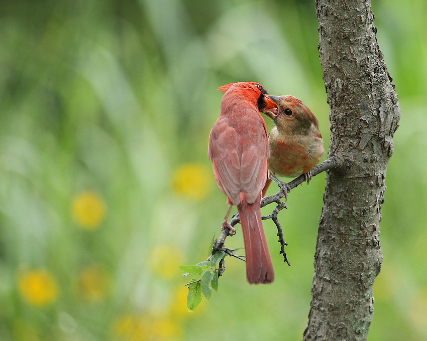 Male Cardinal tending to its young, spring 2015 in the Hill Country of Central Texas.
