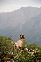 A male bighorn sheep looks over a mountain meadow below Grinnell Glacier in Glacier National Park in Montana.