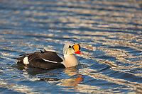 Colorful and regal looking male king eider swims on a tundra pond on Alaska's arctic north slope.