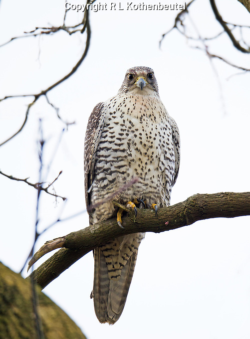 An adult gyrfalcon perches in a tree overlooking the Snohomish valley where an abundance of ducks provides its primary diet.<br /> Monroe, Washington<br /> 1/18/2014