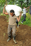 Rwanda - Potato farmers planting their crop on near the northern border with the Democratic Republic of the Congo