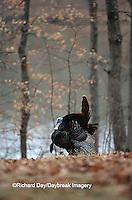 00845-035.20 Eastern Wild Turkey (Meleagris gallopavo silvestris) male/gobbler strutting  Stephen A. Forbes SP, Marion Co.  IL