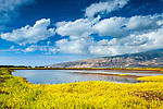 Landscape of Kanuimanu Ponds with yellow flowers,    Keālia Pond National Wildlife Refuge, Maui, Hawaii.