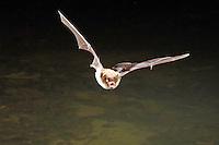 Wasser-Fledermaus, Wasserfledermaus im Flug bei der Jagd, Flugbild, Myotis daubentoni, Myotis daubentonii, Daubenton's bat, Le murin de Daubenton