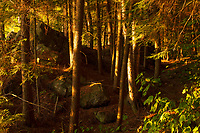 Early morning light in a Eastern Hemlock forest in the Adirondack Mountains in New York State