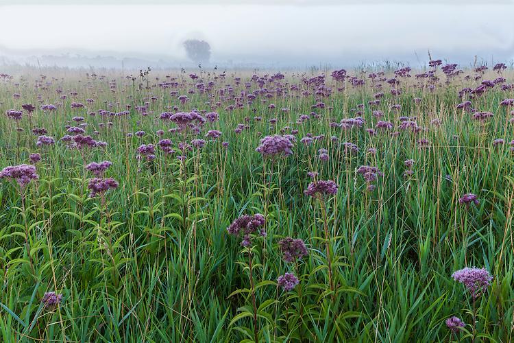 Foggy sunrise on a field of Joe-Pye Weed (Eutrochium sp.) in bloom in summer at Springbrook Prairie; DuPage County, IL