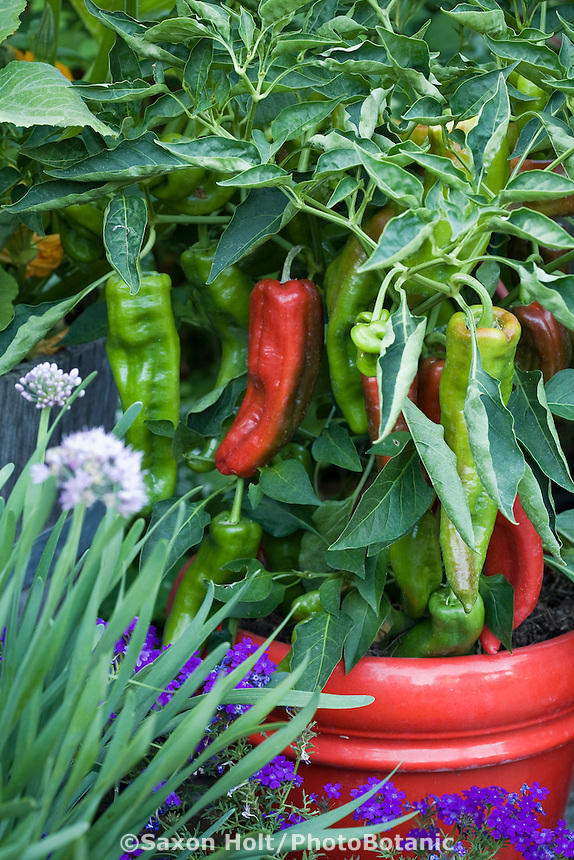 Red (ripe) and green pepper 'Spanish Spice' (Capsicum annuum) in red container in organic garden