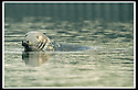 21/04/2003                   Copright Pic : James Stewart.File Name : stewart-andre permit 09.ANDRE THE SEAL WHO HAS BEEN ISSUED A PERMIT BY MICHAEL BRADY, CHAIRMAN & SECRETARY OF THE LOCH LOMOND ANGLING IMPROVEMENT ASSOCIATION, ALLOWING HIM TO FISH IN LOCH LOMOND AND THE RIVER LEVEN.........(see copy from George Mair.....).James Stewart Photo Agency, 19 Carronlea Drive, Falkirk. FK2 8DN      Vat Reg No. 607 6932 25.Office     : +44 (0)1324 570906     .Mobile  : +44 (0)7721 416997.Fax         :  +44 (0)1324 570906.E-mail  :  jim@jspa.co.uk.If you require further information then contact Jim Stewart on any of the numbers above.........