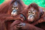 Orphan Orangutans Hugging; Tanjung Puting National Park, Indonesia