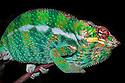 Panther chameleon male {Furcifer pardelis}, Madagascar.