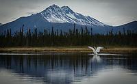 Trumpeter Swan (Cygnus buccinator) near McCarthy, Alaska. Photo by James R. Evans