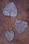 Three autumn or winter leaves of Black poplar or Populus nigra tree lying on scuffed leather
