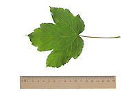 Berg-Ahorn, Bergahorn, Ahorn, Acer pseudoplatanus, Sycamore, Erable sycomore, sycamore maple, L'érable sycomore. Blatt, Blätter, leaf, leaves