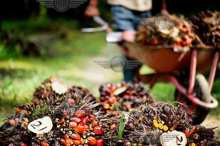 Harvested oil palm fruit prior to processing. The palm fruit is numbered so that any problems with the harvest can be traced.