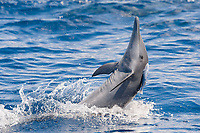 Central American Spinner Dolphin, Stenella longirostris centroamericana, spinning with small Remora attached, Costa Rica, Pacific Ocean
