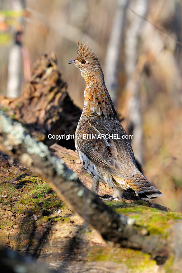 00515-074.19 Ruffed Grouse is on log during fall.  Hunt, moss, oak.