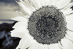 Black and white closeup of a sunflower.