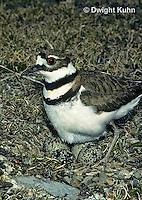 1K04-002z  Killdeer - adult sitting on eggs - Charadrius vociferus