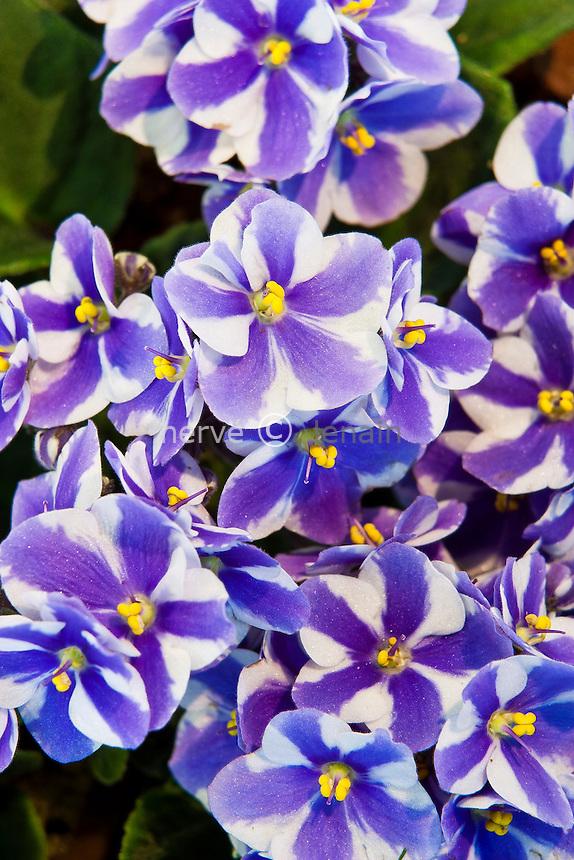 Saintpaulia 'Chimera' = violette du Cap 'Chimera' = violette d'Usambara 'Chimera' // African violet 'Chimera' or Saintpaulia 'Chimera'