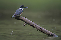 Belted Kingfisher, Megaceryle alcyon, young, Starr County, Rio Grande Valley, Texas, USA, April 2002