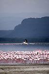 Flamingos and pelican at Lake Nakuru
