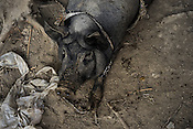 A big pig rests on the ground in Kwin Sekhan Villagein Pyapon district of Myanmar. The farmer, Tin Tun has 5 acres of paddy fields and owns 10 pigs and 300 ducks, jointly owned by him and his brother in law.
