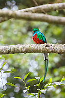 resplendent quetzal, Pharomachrus mocinno, adult male on a tree branch, Costa Rica, Central America