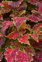Solenostemon (Coleus) 'Copper Sprite', reddish orange ornamental annual foliage plant with green yellow picotee edges, lobed leaves, colorful plant
