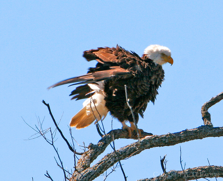 "Another shot of the ""auntie"" bald eagle at LLano"