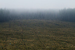 Pine (Pinus sp) tree plantation and clear cut, Glen Isla, Scotland, United Kingdom