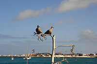 Two doves sitting on branch with the background of Corralejo, Fuerteventura, Canary Islands.