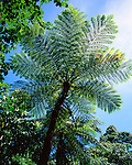 Tree Fern, Daintree National Park, Queensland