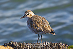 Black-Bellied Plover, Pluvialis dominica