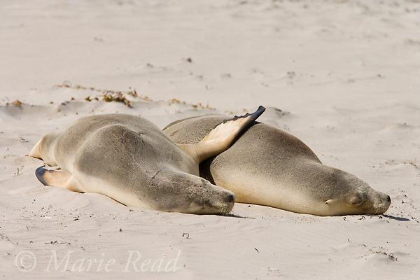 Australian Sea-lions (Neophoca cinerea), two sleeping together, Seal Bay, Kangaroo Island, Australia.