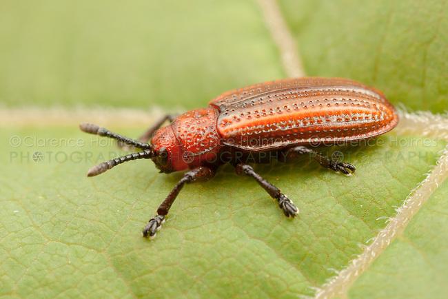 Goldenrod Leaf Miner (Microrhopala vittata), Bald Eagle State Park, Howard, Centre County, Pennsylvania