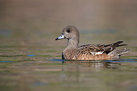 American Wigeon (Anas americana), female in breeding plumage swimming in a pond in Papago Park in Phoenix, Arizona.