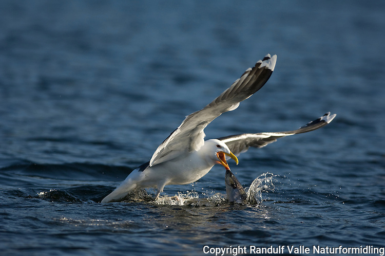 Svartbak med fisk ---- Great black-backed gull with fish